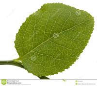 листья-черники-10118473
